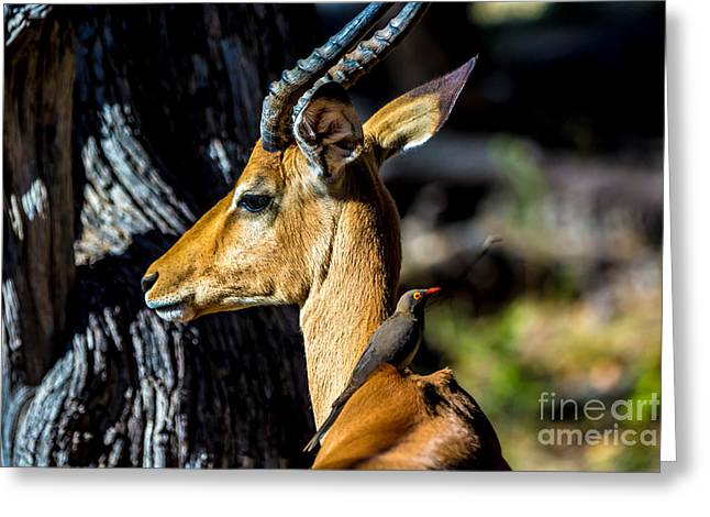 Beautiful Wildlife In Chobe National Greeting Card
