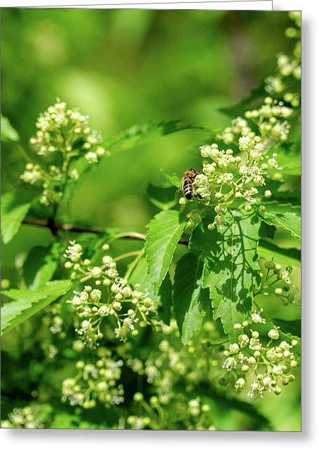 Bee On Amur Maple 1 Greeting Card