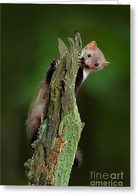 Beech Marten, Martes Foina, With Clear Greeting Card