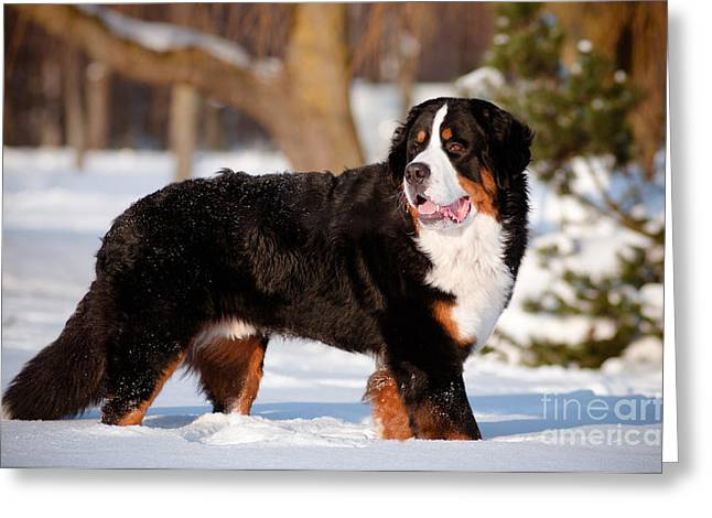 Bernse Mountain Dog Portrait In Winter Greeting Card