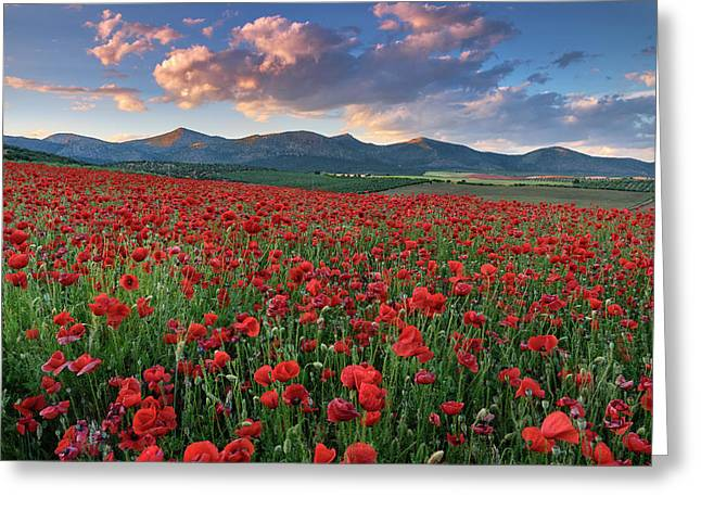 Big Fields Of Poppies. At Dream Sunset. Greeting Card