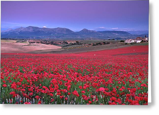 Big Fields Of Poppies. At Sunset. Sierra Arana And Sierra Nevada Greeting Card