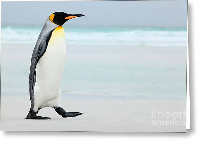 Big King Penguin Going In To The Blue Greeting Card