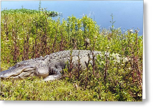 Big Old Alligator Greeting Card