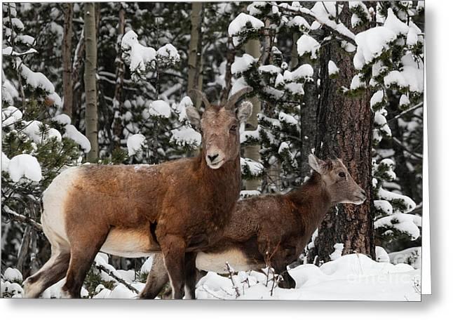 Bighorn Sheep In Deep Snow Greeting Card