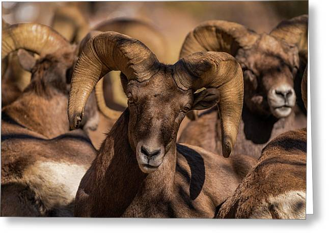 Bighorns Resting In The Afternoon Sun Greeting Card