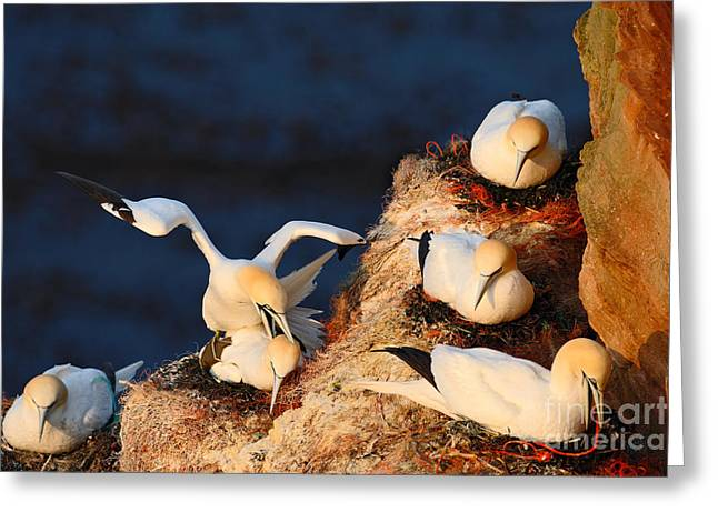 Bird Colony. Mating Of Northern Gannets Greeting Card