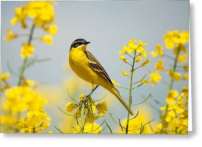 Bird In Yellow Flowers, Rapeseed Greeting Card