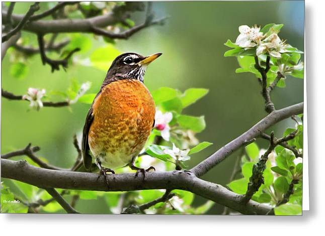 Birds - American Robin - Nature's Alarm Clock Greeting Card