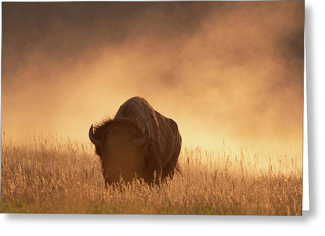 Bison In The Dust 2 Greeting Card