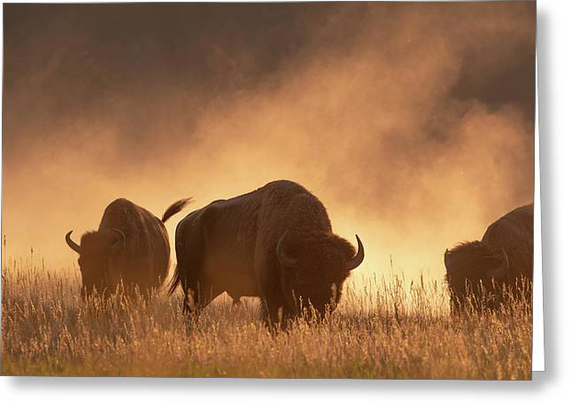 Bison In The Dust Greeting Card