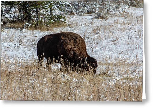 Greeting Card featuring the photograph Bison In The Snow by Pete Federico