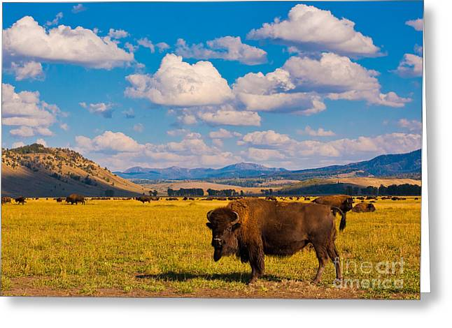 Bison Paradise In Yellowstone National Greeting Card