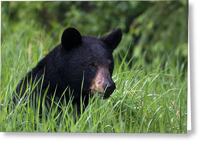 Black Bear, Spring Rain Greeting Card