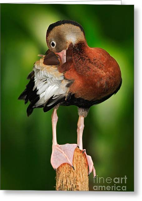 Black-bellied Whistling-duck Greeting Card