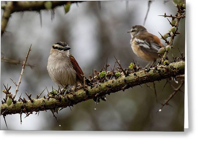 Black-crowned Tchagra And White-browed Scrub-robin Greeting Card