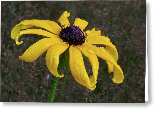 Greeting Card featuring the photograph Black Eyed Susan by Dale Kincaid