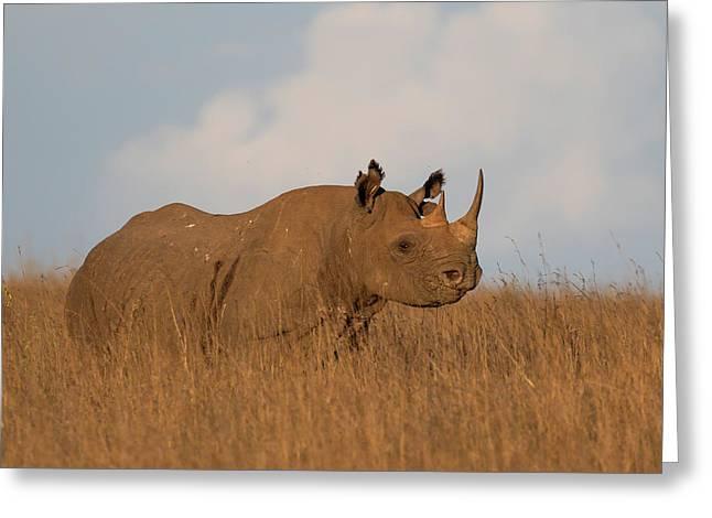 Black Rhino Greeting Card