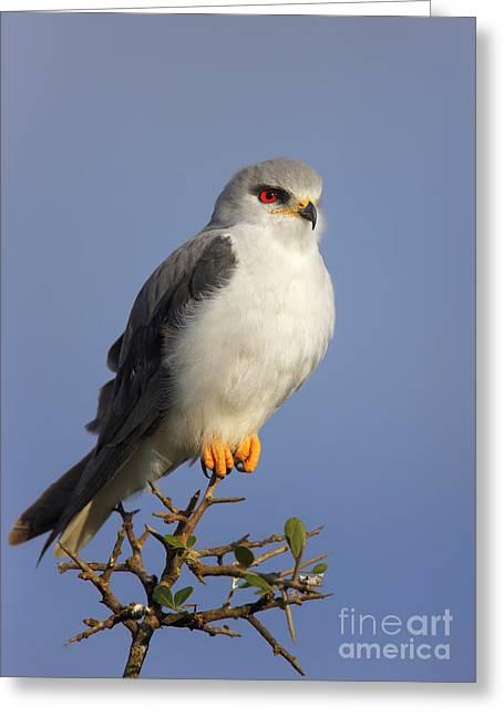 Black-shouldered Kite - Elanus Caeruleus Greeting Card