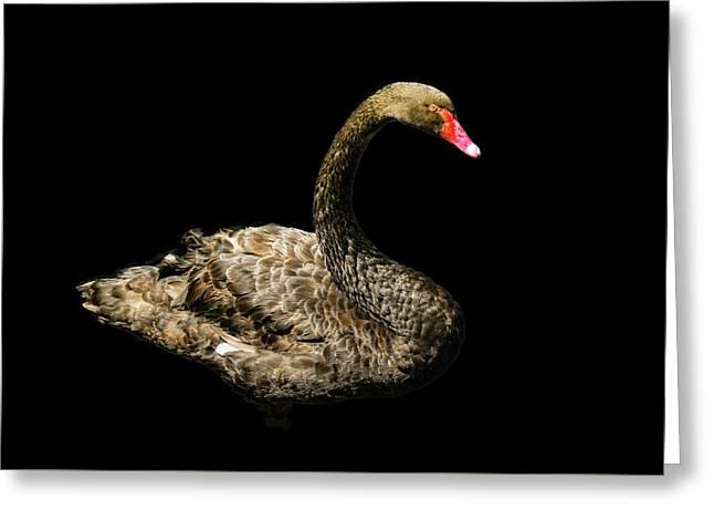 Black Swan On Black  Greeting Card