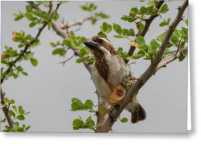 Black-throated Barbet Greeting Card