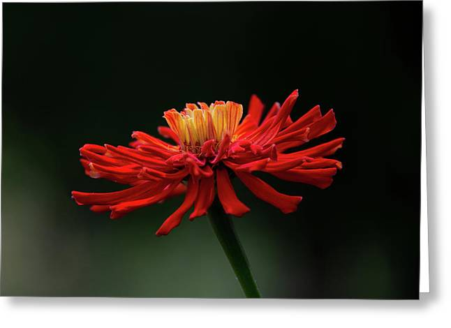 Greeting Card featuring the photograph Blazing Red by Dale Kincaid
