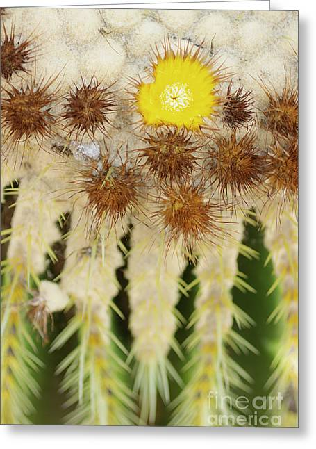 Greeting Card featuring the photograph Blooming Golden Barrel Cactus by Charmian Vistaunet
