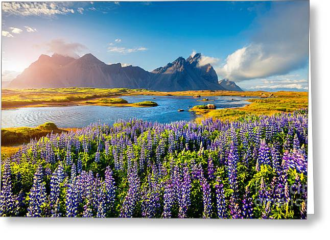 Blooming Lupine Flowers On The Greeting Card