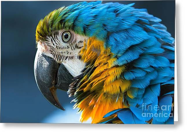Blue-and-yellow Macaw Lat. Ara Ararauna Greeting Card