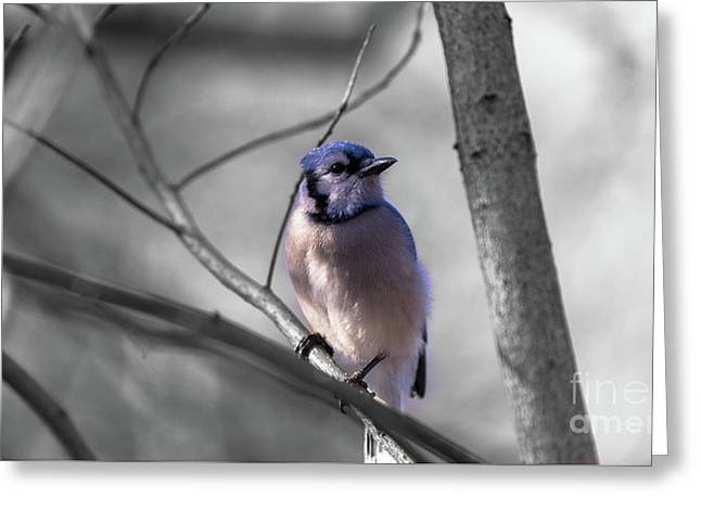 Greeting Card featuring the photograph Blue Jay by Dheeraj Mutha