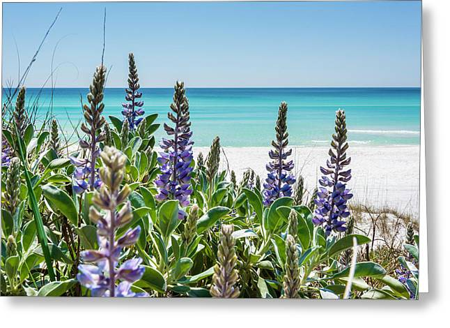 Blue Lupine On The Beach Greeting Card