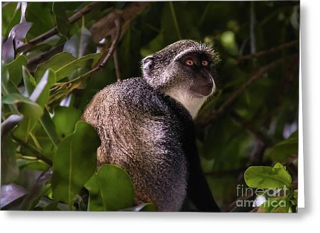 Blue Monkey, Zanzibar Greeting Card