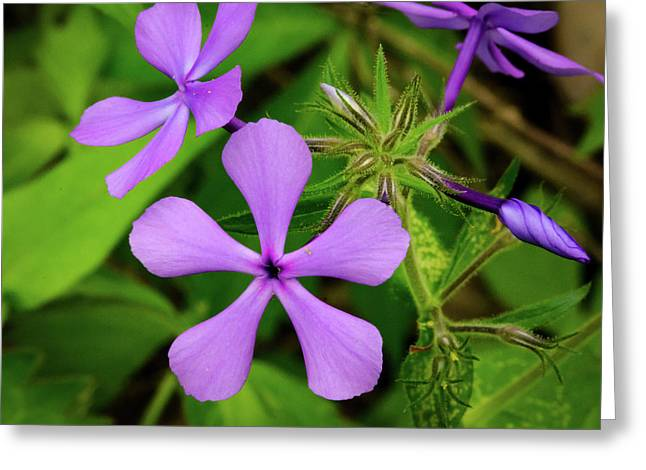 Blue Phlox Greeting Card
