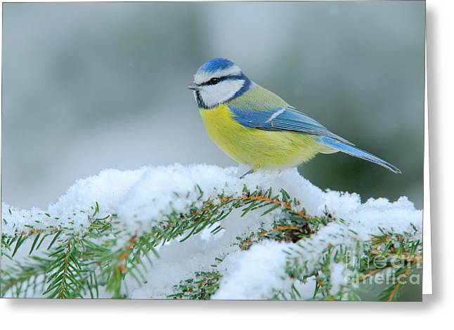 Blue Tit, Cute Blue And Yellow Songbird Greeting Card