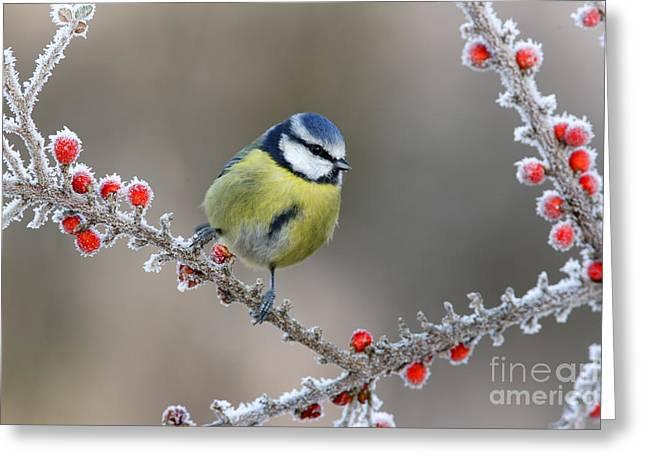 Blue Tit Parus Caeruleus, On Berries In Greeting Card