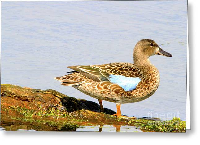 Blue-winged Teal Female Duck Greeting Card
