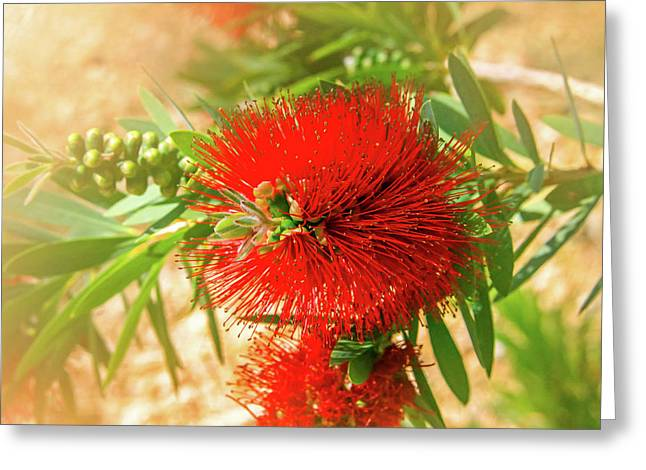 Bottlebrush Bloom Greeting Card