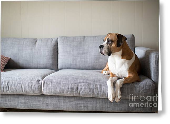 Boxer Mix Dog Laying On Gray Sofa At Greeting Card