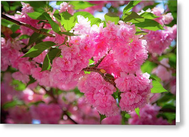 Bright Pink Blossoms Greeting Card
