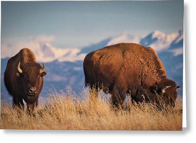 Buffalo Grazing At Dawn Greeting Card