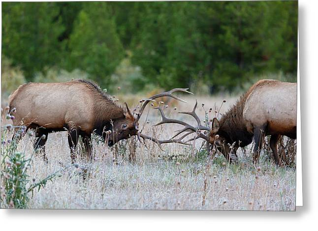 Bull Elk Battle Rocky Mountain National Park Greeting Card