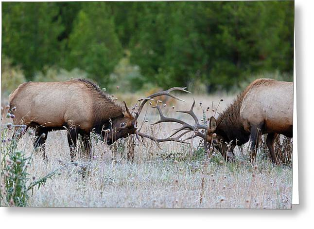 Greeting Card featuring the photograph Bull Elk Battle Rocky Mountain National Park by Nathan Bush