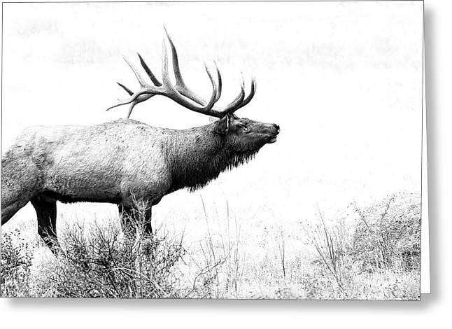 Bull Elk In Rut Greeting Card