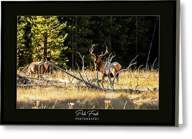 Greeting Card featuring the photograph Bull Elk by Pete Federico