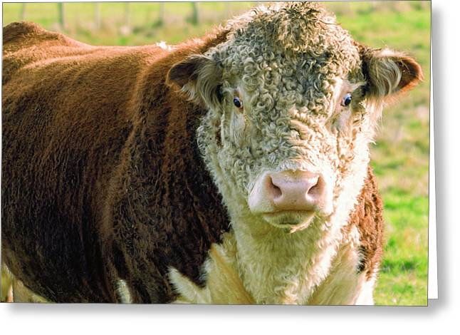 Bull In The Country Side Of Tasmania. Greeting Card