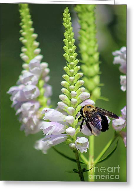 Bumblebee On Obedient Flower Greeting Card