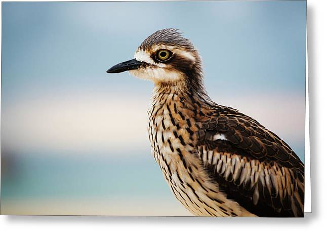Bush Stone-curlew Resting On The Beach. Greeting Card