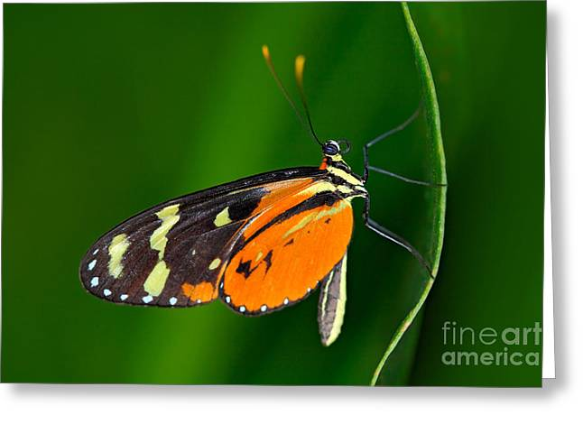 Butterfly Heliconius Hacale Zuleikas Greeting Card by Ondrej Prosicky