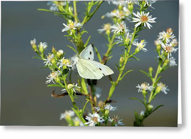 Cabbage White Butterfly On Flowers Greeting Card