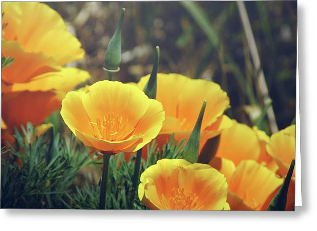 Californian Poppies In The Patagonia Greeting Card